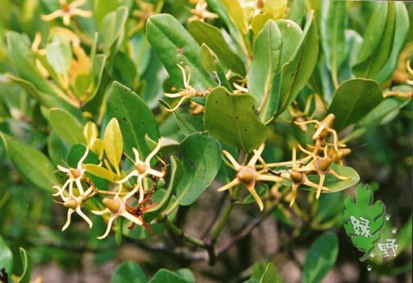 红树林植物图谱