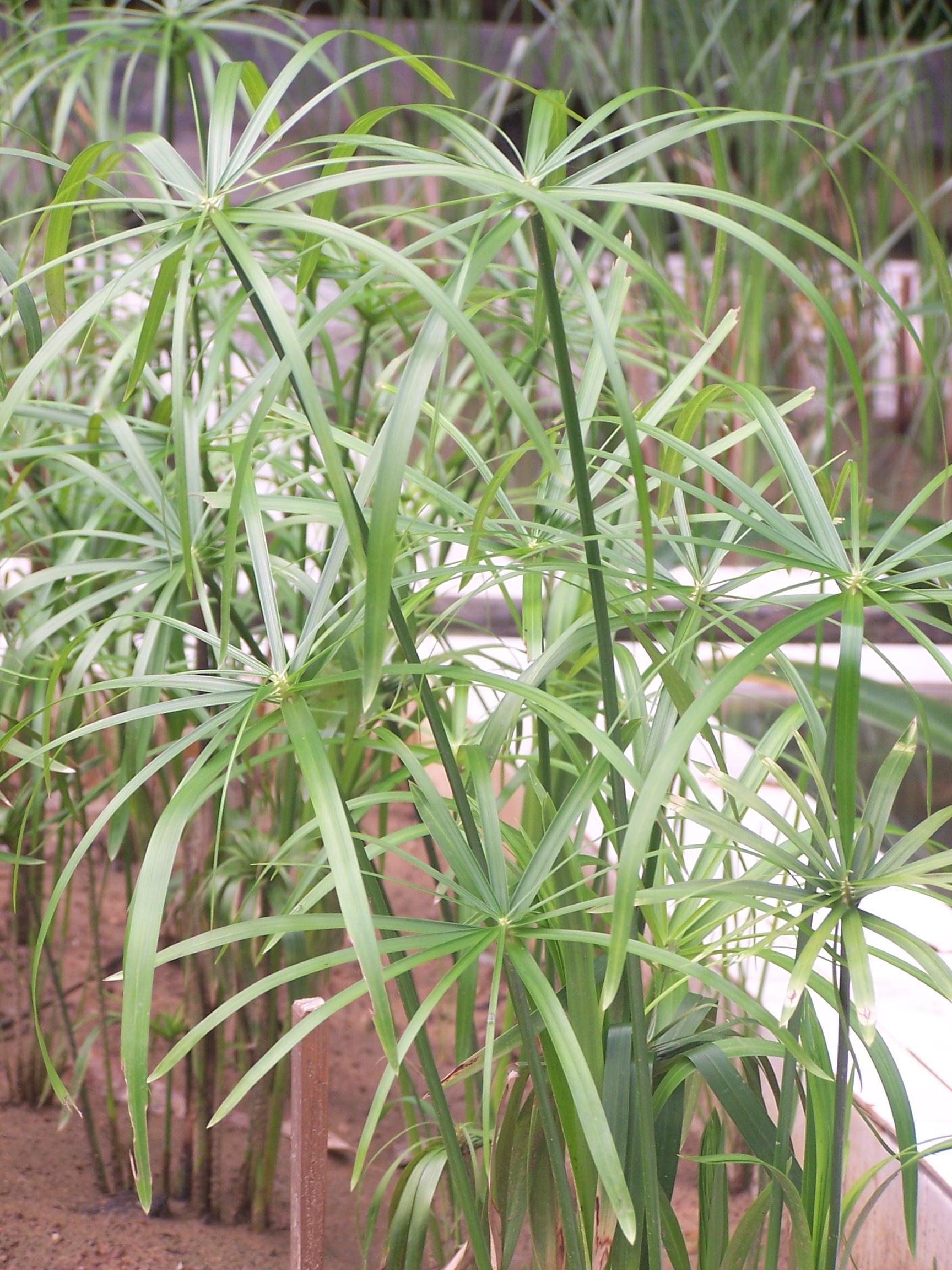 植物 湿地/大家知道这是什么湿地植物吗?