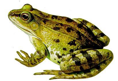 揭密 为什么青蛙能长期冬眠不死